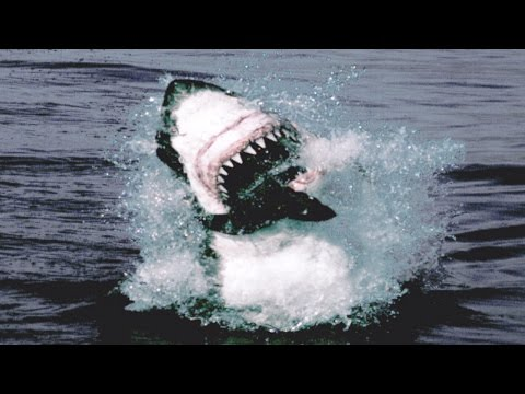 Thumbnail: Great White Shark Attack And Breach - Planet Earth - BBC Earth