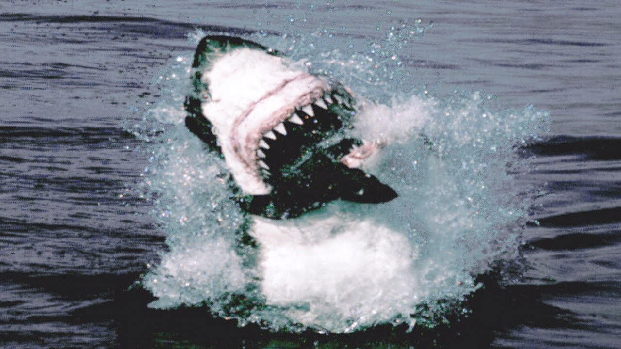 Shark pictures great attack white