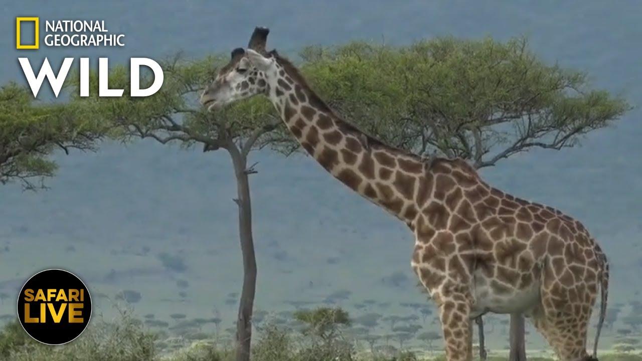 Safari Live - Day 287 | Nat Geo Wild
