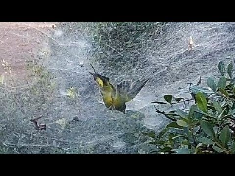 SPIDER HUNTS TO BIRD AND HUNTER IT SAVES