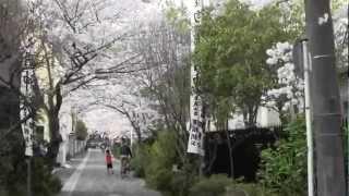 清泉小学校の西側と、その南側野道には桜の老木が並び、市内有数の お花...