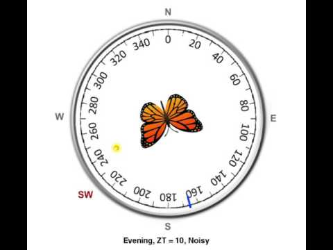 Time-compensated sun compass in monarch butterfly - Evening