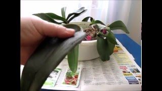 видео Посадка детки орхидеи фаленопсис