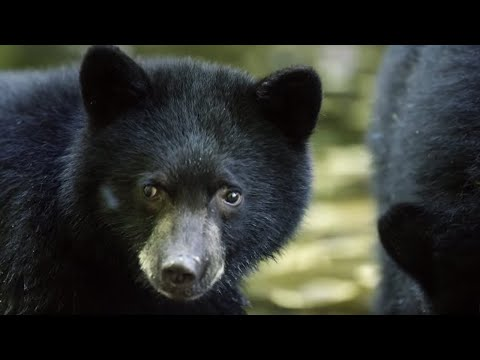 Mother Bear Teaches Cubs To Fish | BBC Earth