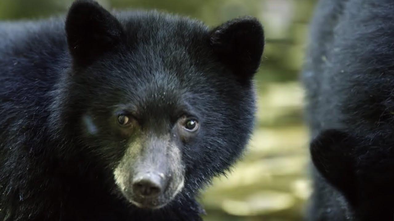 mother bear teaches cubs