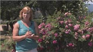 Rose Gardening : How to Fertilize Double Knock Out Roses