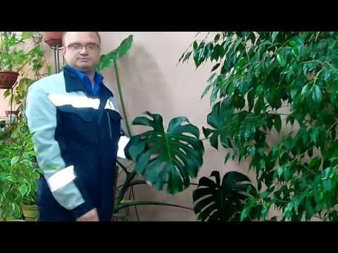 Монстера - растение убийца?