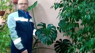 видео Монстера (Мопstera Adans.)