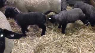 Specop Lambs 2013