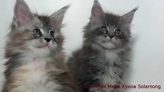 Котята Мейн Кун, помёт 7 июля 2017(, 2017-08-29T17:25:30.000Z)