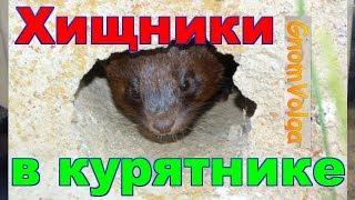 Хищники в курятнике - хорек, крыса, мыши, ласка