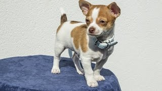 Any advice on potty training a 7 week old Chihuahua?