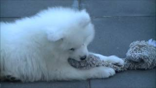 Welcome to the HALO Diary. Halo is a Samoyed and has joined our fam...