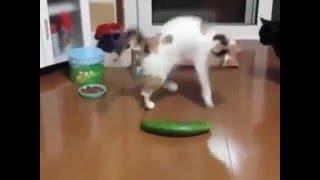 Прикол, коты боятся огурцов, ужас, животные