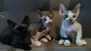 ✅ Беззаботная жизнь кошек девон-рекс