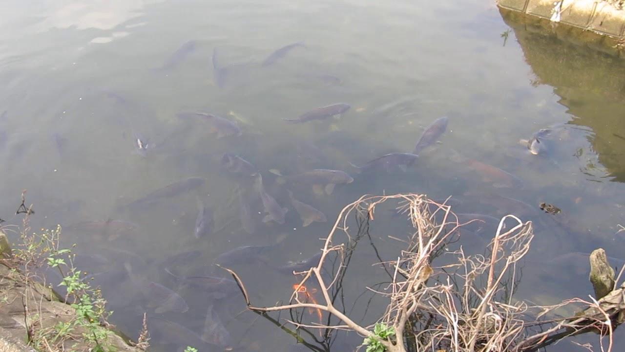 鯉 Japanese koi Carp fish - YouTube