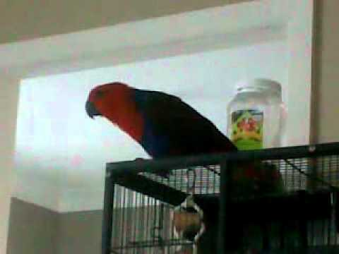 Eclectus Parrot female talking (KATIE)
