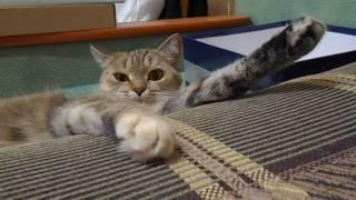 Кошка Ромашка забавно лежит)