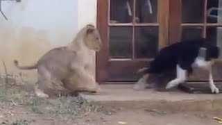 わけないよね。 元の動画↓ 「Sneaking Lion Cub Gives Dog Fright」 htt...