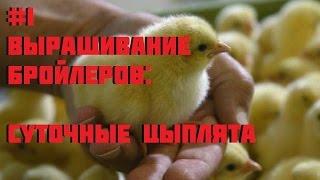 #1 Выращивание бройлеров. Как вырастить и заработать (суточные цыплята)(Уход за цыплятами, корм и все, что необходимо для выращивания бройлеров. Каждые 10 дней будем взвешивать..., 2016-01-18T05:49:38.000Z)