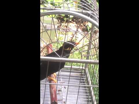 chim yểng chim nhồng bán.lh 01686336833