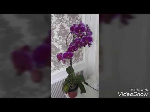 Почему листья орхидеи стали мягкими