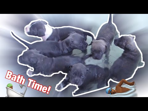 Pitbull puppies taking a bath for the first time
