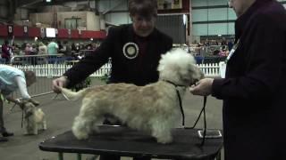 Dandie Dinmont Terriers at Scottish Breeds 2009  part 1