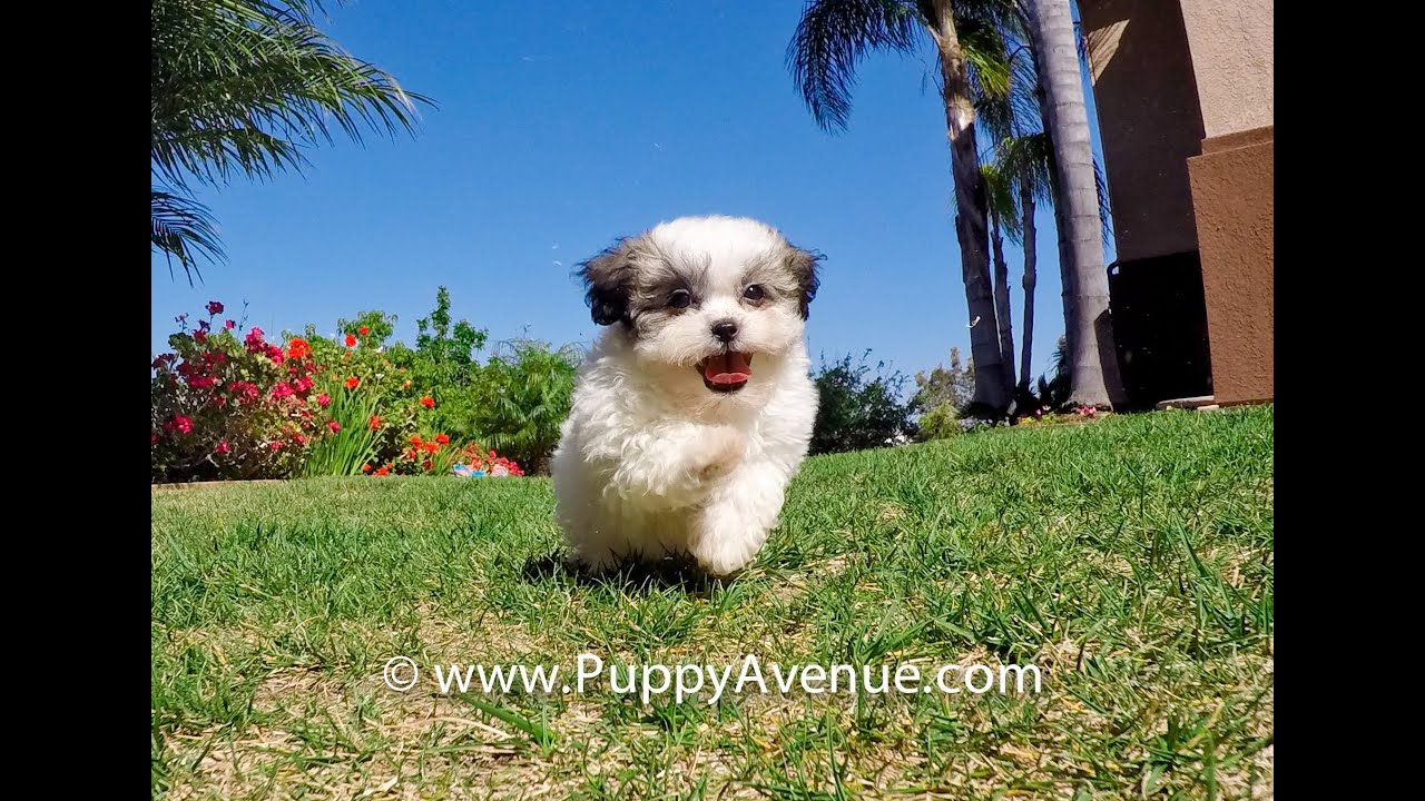 Nevaeh The Gorgeous Teddy Bear Mal Shih Hybrid Female Puppy For