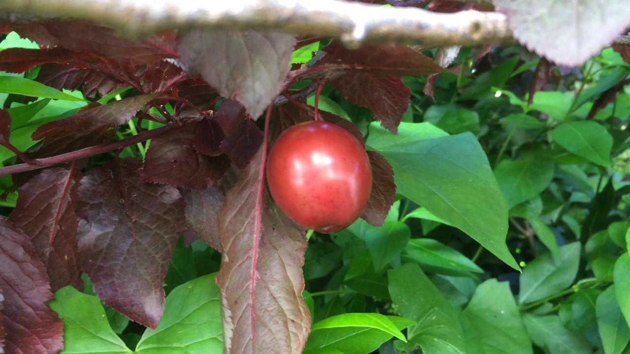 Educational Videos On Nature Purple Leaf Plum Fruit Close Up