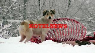 От шосето до кюфтето. Блъснат кон разфасоваха край пътя www.kotelnews.com