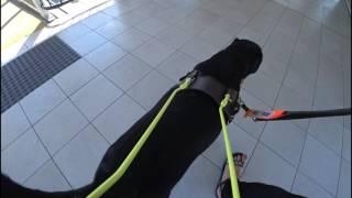Guide dog in training walk in harness. Guide Dogs WA Australia. Seeing eye dog