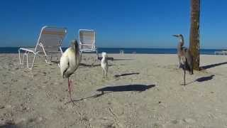 Wood Stork, Great Blue Heron, and Snowy Egret on the beach at Sarasota
