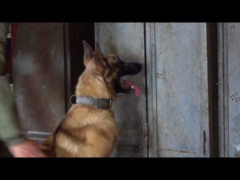 Castor Detection   Belgian Malinois