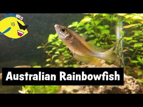 Australian Rainbowfish: Beginner Aquarium Fish