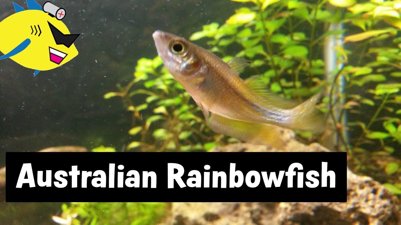 Australian Rainbowfish Beginner Aquarium Fish Youtube