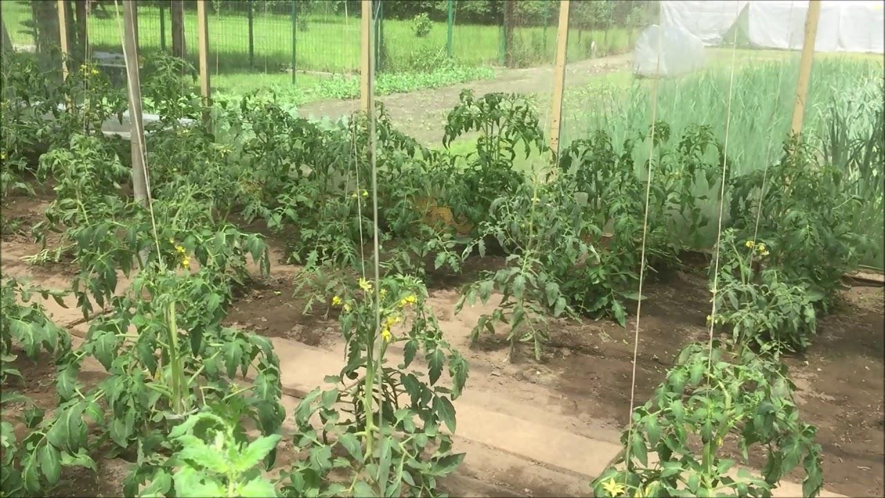 Uprawa pomidorów cz 2