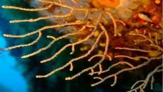 Korsika 2010 in HD (Video stabilisiert)(tauchen im Valinco Golf und in der Bai de Cupa Bia an der korsischen Westküste. Backgroundmusik: mit freundlicher Genehmigung der Gruppe ELODIN ..., 2012-05-05T09:22:24.000Z)