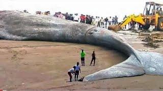 Les Pêcheurs Ont Attrapé la Plus Grande Créature de Toute L'histoire de la Terre !