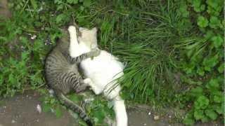 Драка котов(Fight of cats)