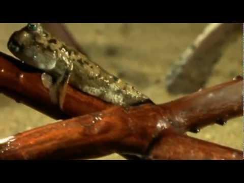 Creationist Vs Darwin Walking Fish [HD]