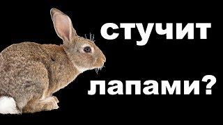 Кролик стучит лапами? Почему кролик стучит задними лапами в клетке?