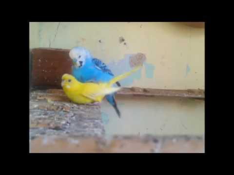 lovebirds-meeting-moment-breeding