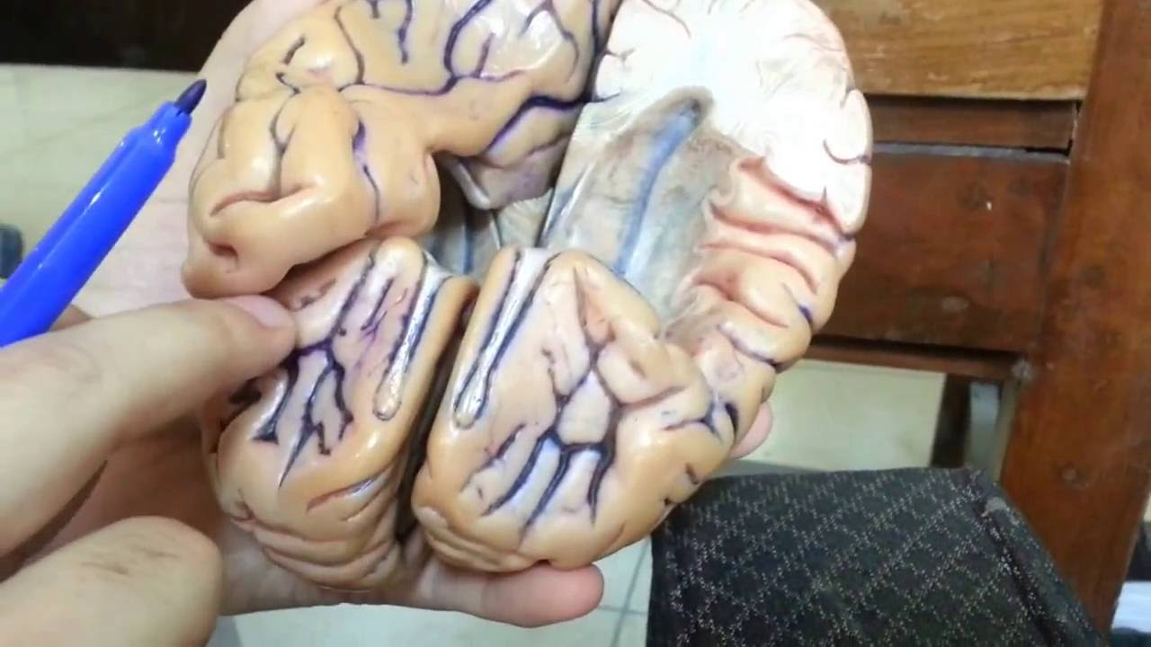 Cerebral Cortex Model Demonstration - YouTube