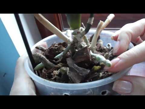 Что это растёт на орхидее? Цветонос или корень?