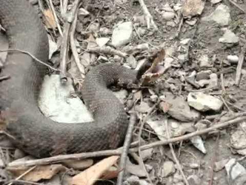 water makinson snake