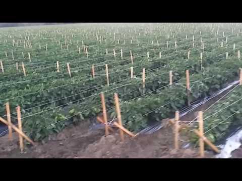 Вирощування перцю в США.29 липня 2016
