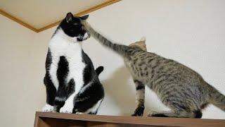子猫の激おこ猫パンチを顔面で受け止める先輩猫w