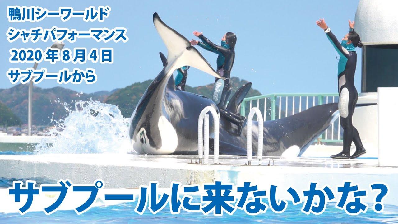 サブプールに来ないかな?【2020年8月4日 サブプールから 鴨川シーワールド シャチパフォーマンス】Killer whale performance, Kamogawa Sea Worl