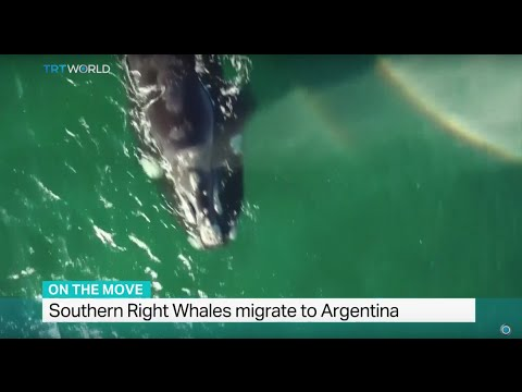 Southern Right Whales migrate to Argentina